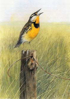 Singing Meadow Lark by Marjolein Bastin