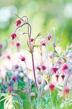Geum triflorum in the pond garden Flowering Period April-June, Condition, full sun, dry, drought resistant