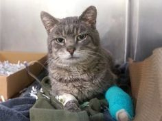 NEW PHOTO! HARMONY IS INJURED - HAS SWOLLEN TAIL, AN INFECTED WOUND ON PAW ON LEFT FRONT LEG.  NEEDS MEDICAL AND RESCUE! • MANHATTAN CENTER  HARMONY – A1102212  MALE, GRAY, DOMESTIC SH MIX,4 yrs STRAY – STRAY WAIT, NO HOLD Reason STRAY Intake condition INJ MINOR Intake Date 01/25/2017, From NY 10452, DueOut Date 01/28/2017