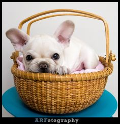 """A Tisket, A Tasket, a French Bulldog in a Basket"", ❤️"