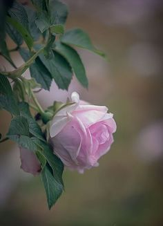 Sacred Really Like - 22 Solutions That Should Change The Tide In Your Daily Life Along With The Lives Of Any Individual Natalca Beautiful Roses, Beautiful Flowers, Pink Roses, Pink Flowers, Rose Photography, Love Rose, Flower Wallpaper, Vintage Flowers, Flower Power