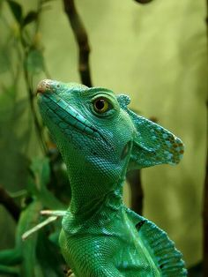 ★ Also known as Plumed, Emerald and Green Basilisk, Basiliscus plumifrons (Corytophanidae) inhabits the rainforests of Honduras, Nicaragua, Costa Rica and Panama at the Caribbean side. This species is found mostly in trees, bushes.......