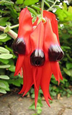 Floral Emblem of South Australia. Sturt's Desert Pea, Swainsona formosa