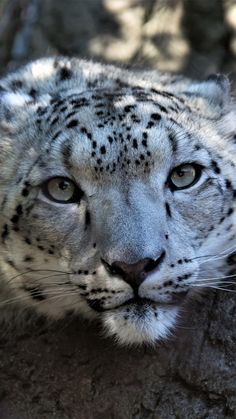 Snow leopard, muzzle, curious, wildlife, 720x1280 wallpaper