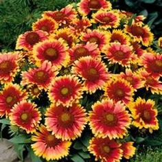 Common Blanket Flower - love this plant because it blooms all summer in rock gardens and spreads easily.  And it is a hardy little sucker that can take a bit of abuse when transplanted.