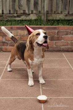 A Beagle celebrating his first birthday with cake. And a hat. But mostly cake.