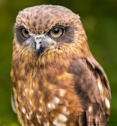 500px / Boobook Owl by Martin's Photography Page