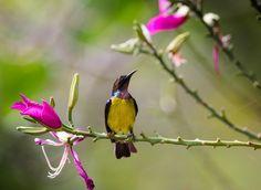 brown-throated sunbird male - taken it from Malaysia