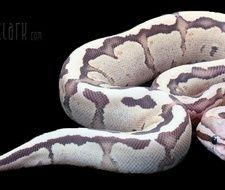 vanilla cream ball python