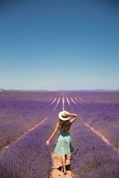 Lavender fields in P
