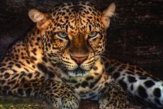 Threatened by leopard