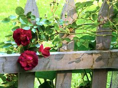 Red roses on the fence (1) From: Simply Pix, please visit