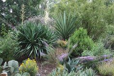 Yucca treculeana garden bed