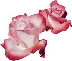 transparent-flowers:  Gemini Hybrid Tea Rosa.