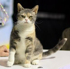 Size and Weight of American Wirehair cat Click the picture to read