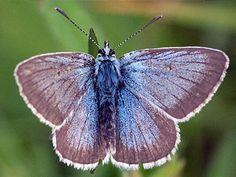 Huhtasinisiipi, Plebeius nicias - Perhoset - LuontoPortti