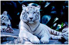 tiger seems to glow