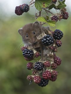 owls-n-elderberries: Bank Vole (Clethrionomys glareolus) by Phil Winter