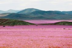 Last year, Chile's Atacama Desert—the driest non-polar area in the world—received record rainfalls thank to El Niño. According to the Washington Post, heavy thunderstorms last March brought 0.96 inches of rain in a single day. While that may not sound like much, for the Atacama, it was the equivalent to 14 years of rainfall in a single day!  Additional rains in August led to an incredible bloom of pink-tone mallow flowers.