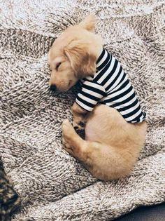 Dachshund Puppies English Cream Dachshund in a striped t shirt via Dachshund Breed, Dachshund Funny, Dachshund Puppies, Weenie Dogs, Dachshund Love, Long Haired Dachshund, Cute Puppies, Cute Dogs, Doggies