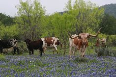 FUHHH-Reaking gorgeous!! Longhorns and Bluebonnets, in the hill country