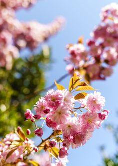 Kirschblüten im Kanton Zug Flowers, Plants, Cherries, Plant, Royal Icing Flowers, Flower, Florals, Floral, Planets
