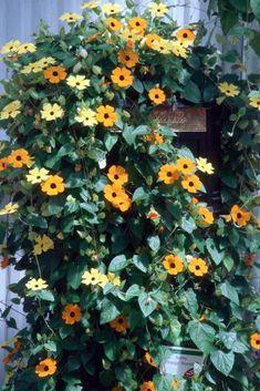 20 best climbing flowers trellis images beautiful flowers rh pinterest com