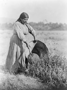 A Pomo uses a tool called a seed beater to knock seeds off plants and into a large-mouthed burden basket. - Edward S. Curtis Collection