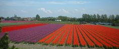 Fantastic flower fields outside of Amsterdam between Haarlem and Leiden. If you want to see and capture beautiful flowers. Now it's the time!