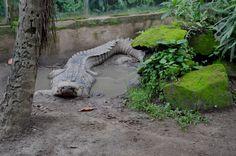 Bali Reptile Park - Aligator