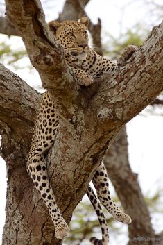 Serengeti Leopard hangin' in a tree from Photo Essay of the animals of Tanzania on LLworldtour.com