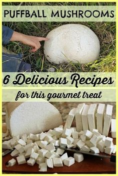 Giant Puffball Banner - Giant Puffball Banner - 6 delicious puffball recipes - you& be amazed at what fantastic meals you can create with this little-known gourmet treasure. Edible Wild Mushrooms, Stuffed Mushrooms, Giant Puffball Recipe, Puffball Mushroom, Growing Mushrooms At Home, Edible Wild Plants, Vegetable Drinks, Veggie Food, Wild Edibles