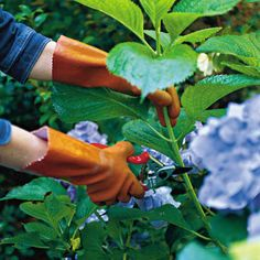Remember to do this in late July or August: root branches and grow more hydrangeas! Also, great tips about hydrangea care and planting.