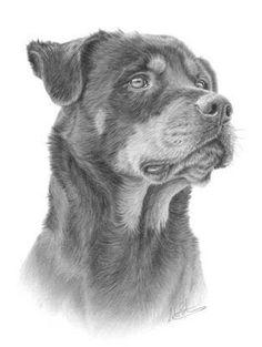 Precioso rottweiler