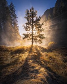 """The Valley of Light""  Taken on a very misty morning in Yosemite National Park. This lone tree was catching some incredible light rays.  Snapchat: Shainblum by shainblumphotography"