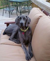 Tucker - Blue is an adoptable Weimaraner Dog in Charlestown, IN. Hey Everyone! Looking for TALL, DARK, and HANDSOME? Well Im the guy for you! My name is Tucker, and I am looking for my forever home. I...