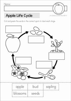 Includes: posters, classroom big book, student cut and paste life cycle booklets, 4 no prep worksheets. 1st Grade Science, Kindergarten Science, Science Classroom, Teaching Science, Science For Kids, Teaching Resources, Apple Activities, Science Activities, Sequencing Activities