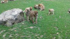 Singes au zoo de Beauval