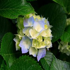 Hydrangea Photo: Hortensia, hydrangea, img This Photo was uploaded by chicoferreira Plantar Rosales, Hortensia Hydrangea, Hydrangeas, Hydrangea Bloom, Hydrangea Colors, Yellow Flowers, Gras, Great Photos, Gardens