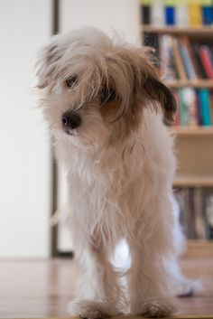 My Chinese Crested Powder Puff, Plet