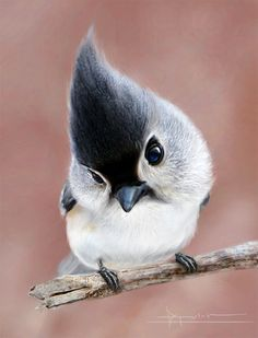 tufted titmouse. Love these birds, they are so cute.