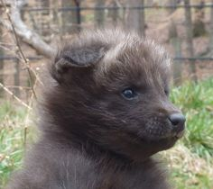 Maned Wolf Pup    photo by Amber Walker