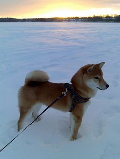 How can you not like Shiba Inus? I'd get another if they didn't shed so bad.