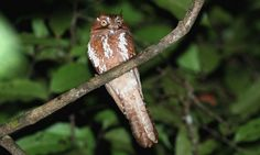 Starry or Spangled Owlet-Nightjar, endemic to Papua New Guinea. It is classified as 'Data Deficient' because it is known from only 4 museum specimens and 2 sightings. Two specimens were taken close to the Indonesian border in 1936, one in the far-south-east in 1969, and another unlabeled from the 1920s. The two sightings were from 1962 at Brown River and 2003 in the Western Province at Drimgas road.