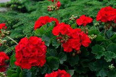 RED - This image is similar, BUT NOT IDENTICAL, to what is being offered through the Plant Sale.