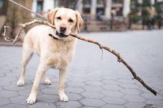 "Skip, Labrador Retriever (3 y/o), Washington Square Park, New York, NY • ""He's three, going on one."""