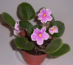 african violet  Rebel's Splatter Kake plant in 4 inch pot