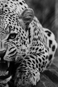 I wish we were this fierce Jaguar