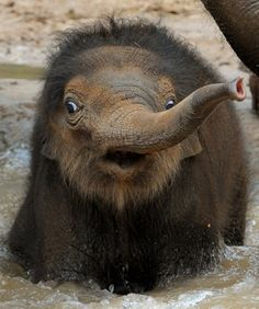 Beautiful Baby Elephant Pictures the hardiest elephant I have ever seen ! Rare Animals, Cute Baby Animals, Funny Animals, Wild Animals, Asian Elephant, Elephant Love, Baby Elephant Pictures, All About Elephants, Elephants Playing