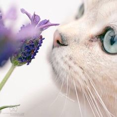 white cat and purple flower Cute Cats And Kittens, I Love Cats, Cool Cats, Kittens Cutest, Beautiful Cats, Animals Beautiful, Cute Animals, Beautiful Life, Crazy Cat Lady